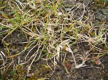 Bulbous Meadowgrass